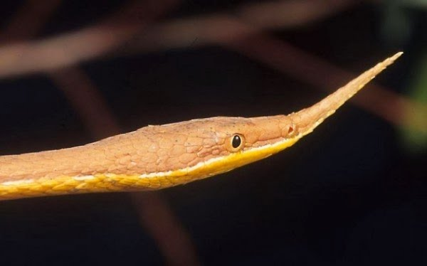 malagasy leaf nosed snake
